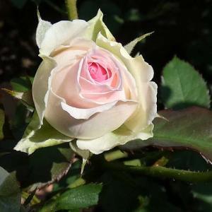 秋の花色、ツルミミエデン、クリーミーエデン、クレアオースチン、ストロベリーマカロンほか