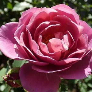 すっかり花がなくなったバラ庭@春のバラ17番目の開花「芳純」