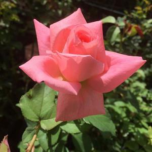 咲き進んできた秋のバラ、ホウジュン、イヴピアジェ、エルトゥールル ほか