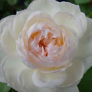 咲き続けているバラ、ボレロ、天使の香、アルシデュックジョゼフ@枯れた春芳@台風の片付け終わり