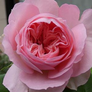 増えた秋色のバラ、ギイドゥモーパッサン、マダムアントワーヌマリ、スヴェニールドゥマルメゾンほか