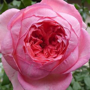 今日のバラ~ラローズドゥモリナール、エルトゥールル、ルージュピエールほか