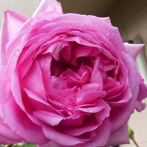 雨が降った朝のバラ、ローズポンパドゥール、エリアーヌジレ、オリジナルの奈緒など