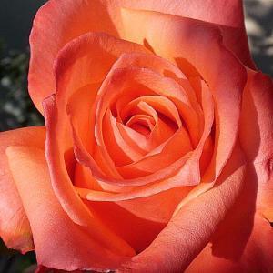 光と影が創る秋バラの魅力、アヴェマリア、マダムイザアックペレール、シカゴピースなど