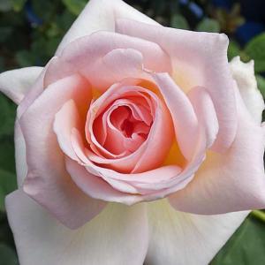 春バラと二番花~オフィーリア、ボレロ、芳純など@鉢バラのお礼肥(追肥)