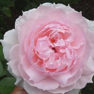 梅雨時に強いイングリッシュローズ三品種@久しぶりの白薔薇「感謝」など
