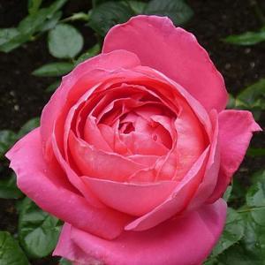 今日咲いてるバラ~マリアカラス、ルージュロワイヤル、紫燕飛舞、フランシスデュブリュイ など