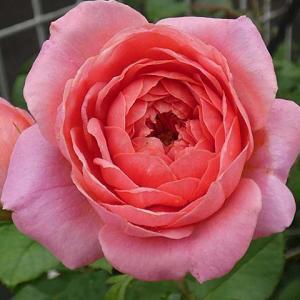 まだ咲く二番花~アマンディーンシャネル、パヴィヨンドゥプレイニーなど@晴れ間に液肥やり