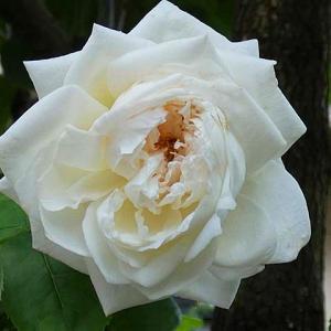 今日咲いてるバラ~エリアーヌジレ、アヴェ・マリア など@遅れている二番花と三番花の蕾@交配種の蕾
