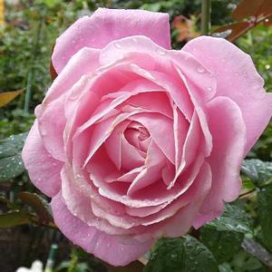 降り続く雨の中で開花~ミサト、シャネル、ピンクサクリーナ など@雨で茂ってるバラ庭