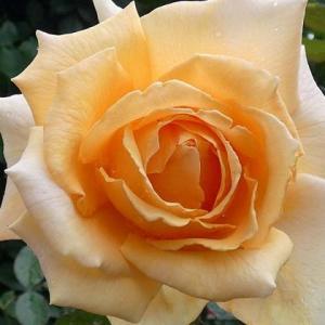 止まぬ雨に咲く三番花~ジャストジョーイ、ラヴィーニアなど6品種@咲きそうな交配種
