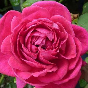 また雨、バラは蕾だらけ、開花は3品種@春のバラ初開花3番目は「ハトヤイバラ」
