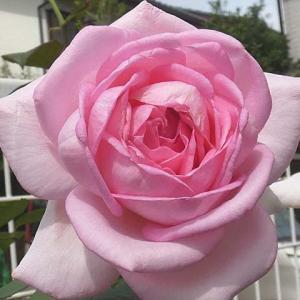 戻ってきたバラの三番花~フレグラントヒル、結愛、グラウンブルー@ポイント薬剤散布