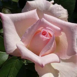 香りのバラから~天使の香、フレグラントヒル、メアリーローズ@テラスと小道の整枝