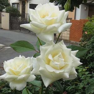 花が激減する暑さで咲くバラ~感謝、グラハムトーマス、エルモサ、ミサト、エルトゥールルなど