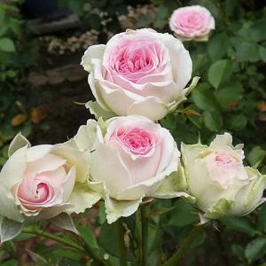 白系から赤系、ピンク系へ~つるミミエデン、ラローズドゥモリナール、みやこなど@交配種の咲き始め