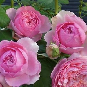 真夏に萌えるバラ~ローズポンパドゥール、クイーンエリザベス、クロードモネ、ケント姫など