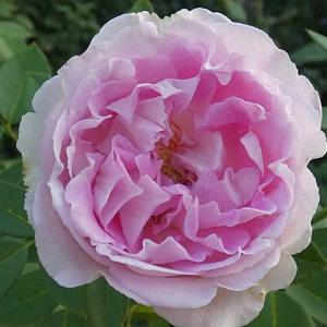 パヴィヨン・ドゥ・プレイニー、エルトゥールルほか@春のバラ初開花4番目「シャンテ・ロゼ・ミサト」