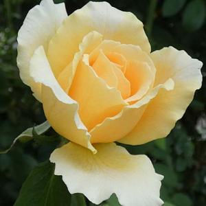 ジャストジョーイ、トロピカルシャーベットなど@春のバラ初開花5番目はデュシェスドゥブラバン