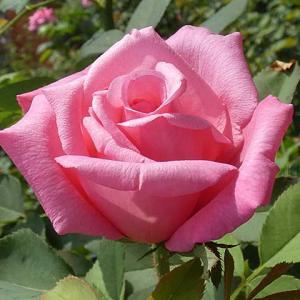 少し増えた夏バラ~ステファニードゥモナコ、エルトゥールル、マリアカラスほか