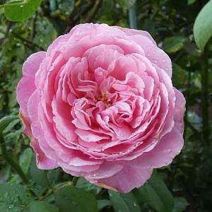 雨で濡れたバラ~シャンテロゼミサト、ジュードジオブスキュア、つるミミエデン、粉粧楼など