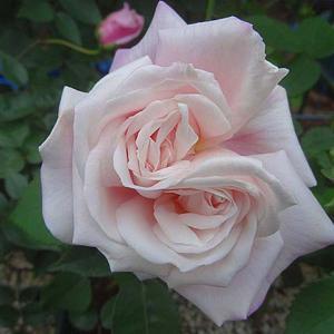 春のバラ初開花8番目は「マダム・アントワーヌ・マリ」@今日咲いてるバラ&蕾