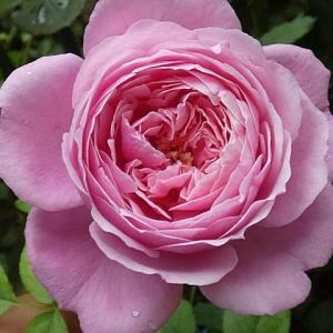 雨に咲くバラ、シャンテロゼミサト、ルージュロワイヤル、エリアーヌジレ、アレトゥーサ