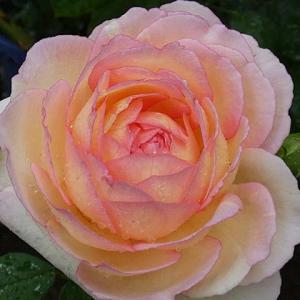 雨のバラ、ペッシュボンボン、ジアレンウィックローズ、ギイドゥモーパッサン、ジャルダンドゥフランス