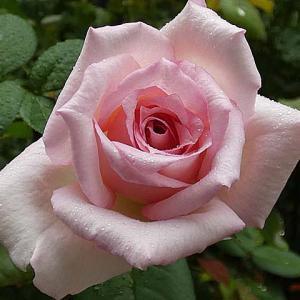 雨が続く中咲くバラ~天使の香、つるミミエデン、ホワイトクリスマス@紅い新芽がいっぱいの庭