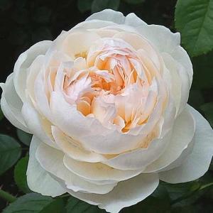今日咲いてるバラ~ボレロ、キタイン、シャルルドゥゴール、エルトゥールルなど
