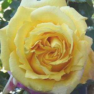 庭植えバラの冬剪定・ロゼピエールの誘引@2020年のバラまとめNO.56「トロピカルシャーベット