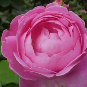 二番花の初開花~メアリーローズ、スヴェニールドゥラマルメゾン、粉粧楼、ピンクサクリーナ