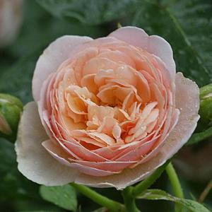 二番花の初開花「スイートジュリエット」、グラハムトーマス、メアリーローズ@陽あたり10分、あおい