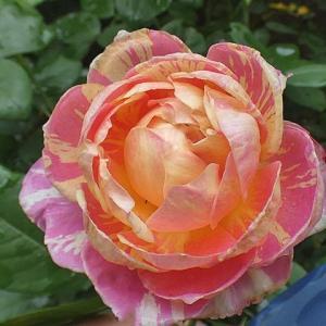 バラの二番花~クロードモネ、ジアレンウィックローズ、ケント姫、ジャルダンドゥフランス@根元を美る