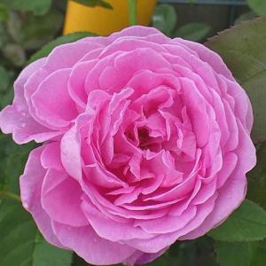 7月初の返り咲き「ルイーズ・オディエ」@開花が揃ったクリスティアーナ、あおい、モーパッサンなど