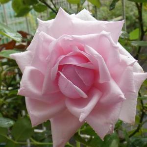 久しぶりの開花「ラ・フランス」@ローズポンパドゥール、キタイン、感謝、ジャルダンドゥフランス