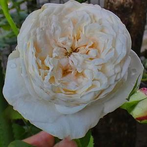 二番花、最後の2品種~エリアーヌジレ、つるミミエデン@つるバラの仮誘引、ゼフィリーヌドルーアン」