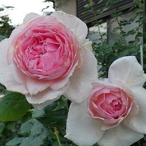 バラ作業~新苗の植替え、鉢植えの追肥@二番花のザウエッジウッドローズ、スイートジュリエットなど