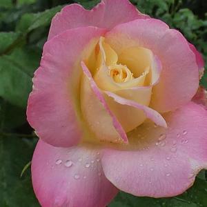 今日の二番花、ダブルデライトの咲き始めと開花、オフィーリアなど@三番花の初蕾5品種