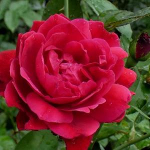 赤黒色のバラ~三番花フランシスデュブリュイ、ルイ十四世、ルージュピエール@三番花の割れた蕾