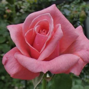 三番花の開花~クイーンエリザベス、ベルベティトワイライト@アンジェラの花後剪定、交配種の開花