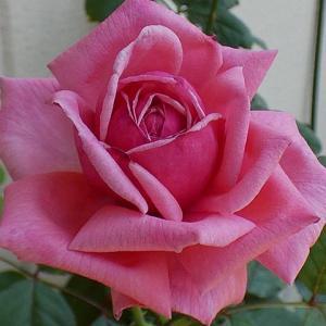暑さの中咲くバラ~結愛、パーティラナンキュラ、天使の香、ピンクサクリーナなど@三番花の蕾