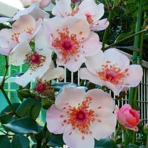 今日咲いてるバラすべて~ピンクサクリーナ、エリアーヌジレ、スヴェニールドゥラマルメゾン、芳純など