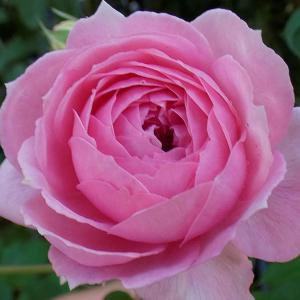 暑さに咲くバラ~アランティッチマーシュ、エルトゥールル、天使の香、ナエマ、芳純、マリアカラスなど