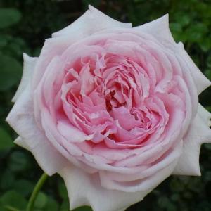 開花が進むラ・フランス、シャンテロゼミサト、パヴィヨンドゥプレイニーなど@咲き始めた三番花の蕾