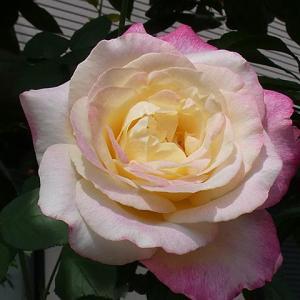 今日のバラ~ダブルデライト、フレグラントヒル、オフィーリア、エルモサなど@開き始めの3番花