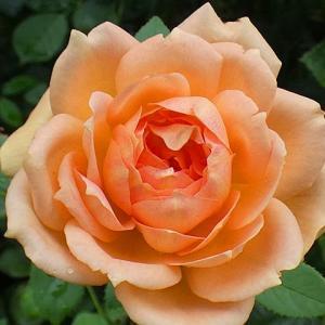 咲いてるバラを集めて~レディオブシャーロット、シカゴピース、交配種2品種、クードゥクールなど