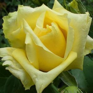 今日のバラ~カマクラ、エルトゥールル、サントゥールロワイヤル、メアリーローズなど@咲き始め三番花