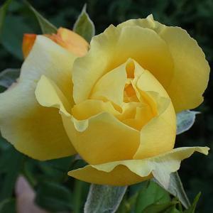 夏ぴったりのトロピカルシャーベット、クリスティアーナ、ベラドンナなど@開花間近のバラのつぼみ