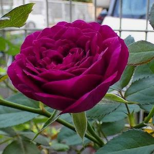 花色濃くエブタイド、巻き巻きの「結愛」、みさき、シャリマーなど@北側花壇の台風対策